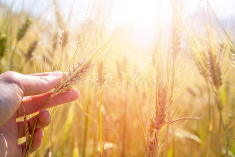 De mannelijke landbouwer raakt de oren van het tarwegewas op een gebied, zonsondergang royalty-vrije stock foto