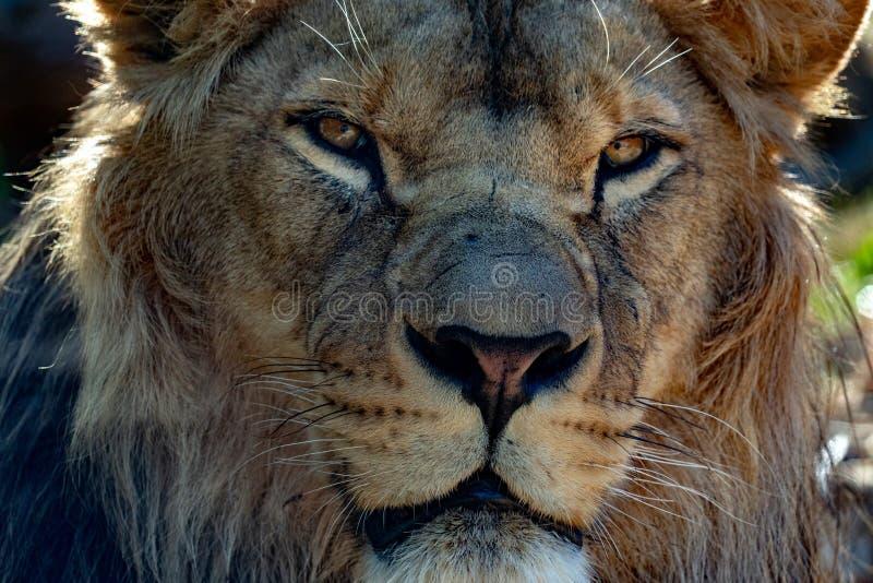 De mannelijke leeuwogen sluiten omhoog stock foto
