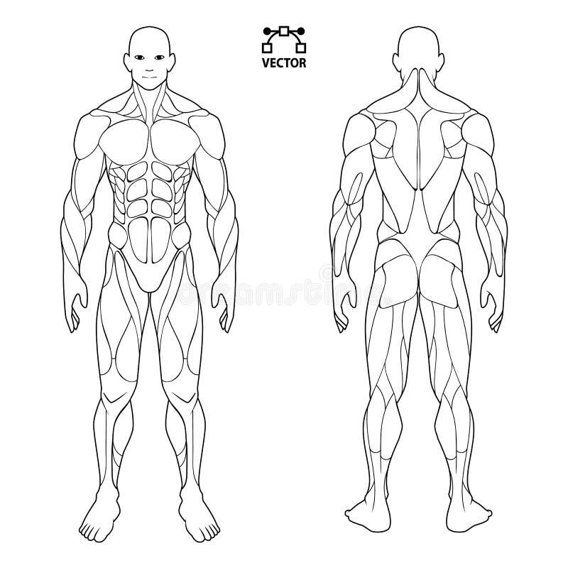 De mannelijke mens van de menselijk lichaamsanatomie, voor en achter spiersysteem van spieren vlakke medische regelingsaffiche va vector illustratie