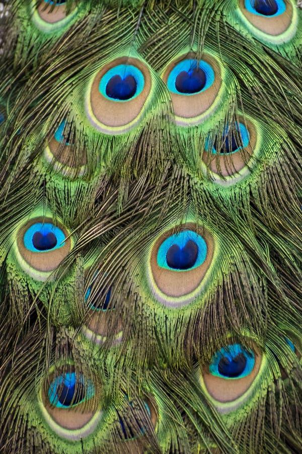 De mannelijke Pauw bevedert Briljante Helder stock fotografie