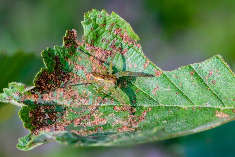 De mannelijke spin van dolomedesfimbriatus zit op het beschadigde blad stock foto's