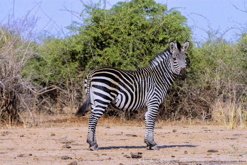 De mannelijke vlakteszebra, Equus-quagga, Zimbabwe stock afbeelding