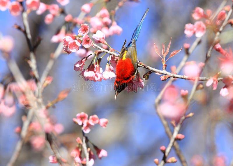 De Mannelijke Vogels van Mevr.Gould ` s sunbird Aethopyga gouldiae van Thailand Bi royalty-vrije stock foto