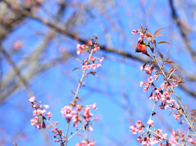 De Mannelijke Vogels van Mevr.Gould ` s sunbird Aethopyga gouldiae van Thailand Bi stock foto's