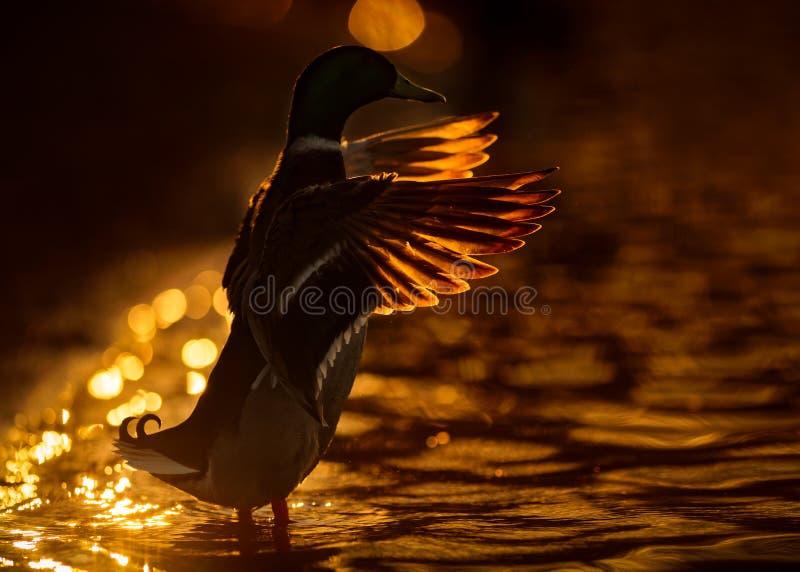 De mannelijke Zonsondergang van Wilde eendduck with wings spread at royalty-vrije stock afbeelding