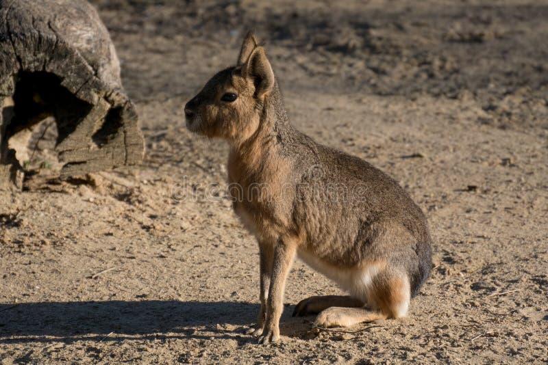 De Mara kwnon patagón también como liebres patagonas foto de archivo libre de regalías