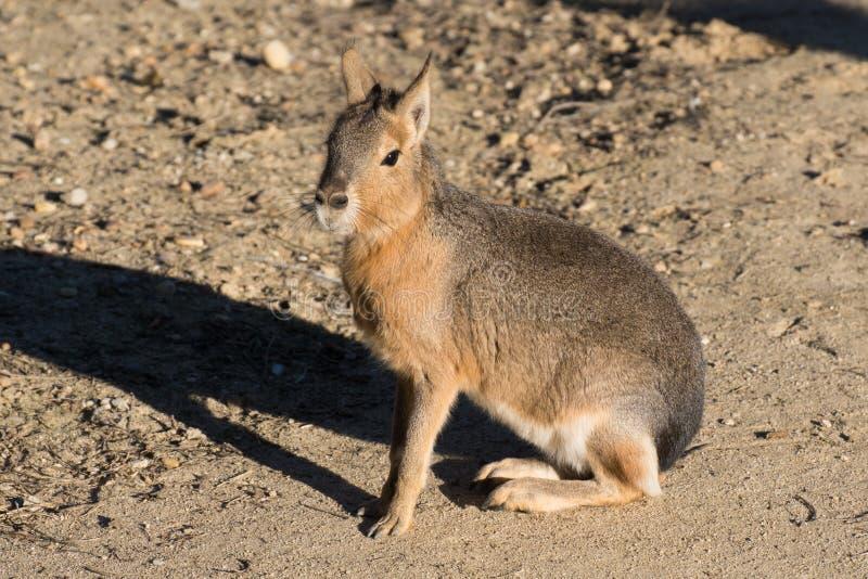 De Mara kwnon patagón también como liebres patagonas foto de archivo