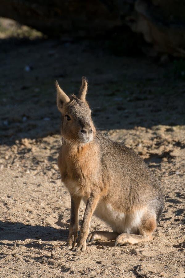 De Mara kwnon patagón también como liebres patagonas imagen de archivo libre de regalías