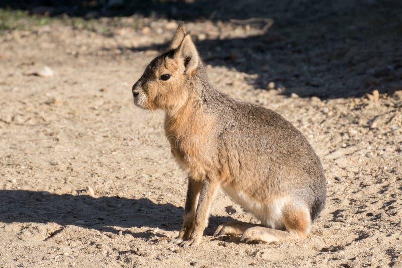 De Mara kwnon patagón también como liebres patagonas fotografía de archivo