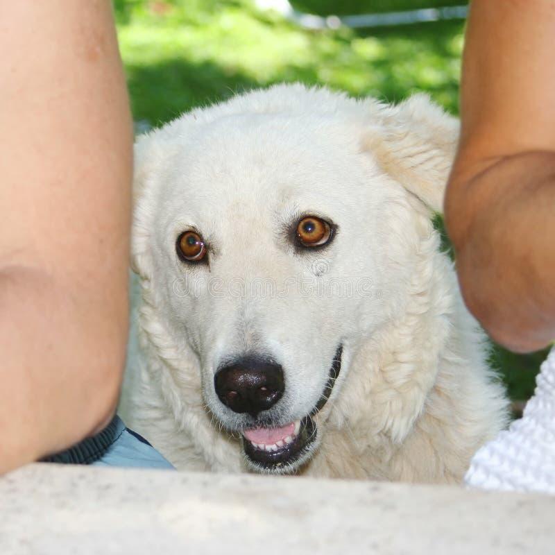 De Maremmanherdershond tussen twee Kaukasische mensen sitted royalty-vrije stock foto