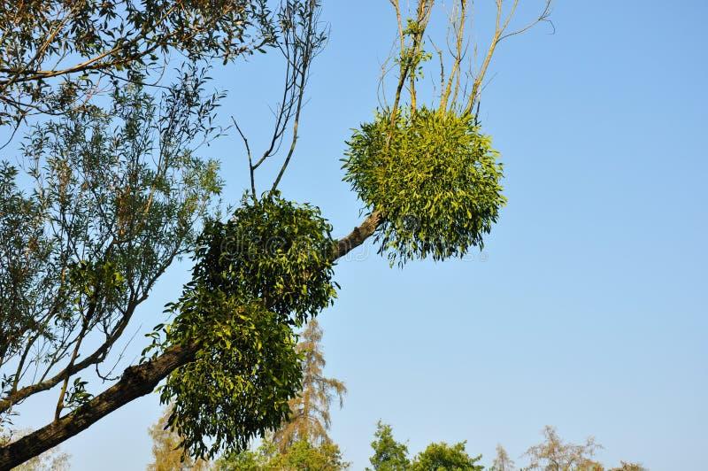 De maretak bundelt ballen op boomtak op blauwe hemelachtergrond stock afbeelding