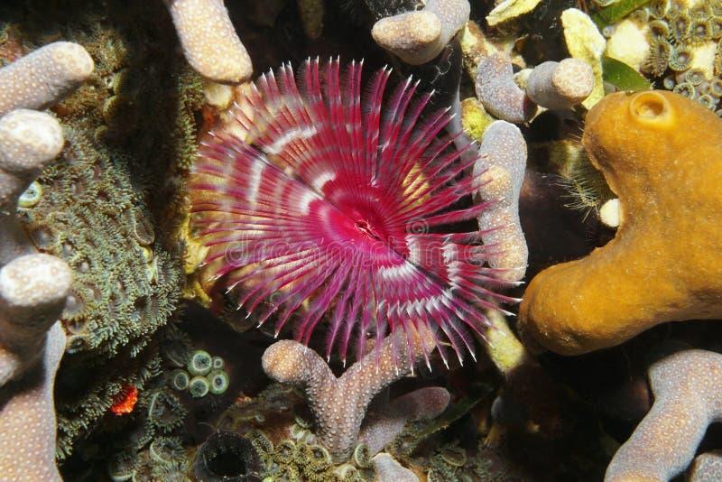 De mariene het levens van het spleet-kroon worm veerstofdoek stock foto's