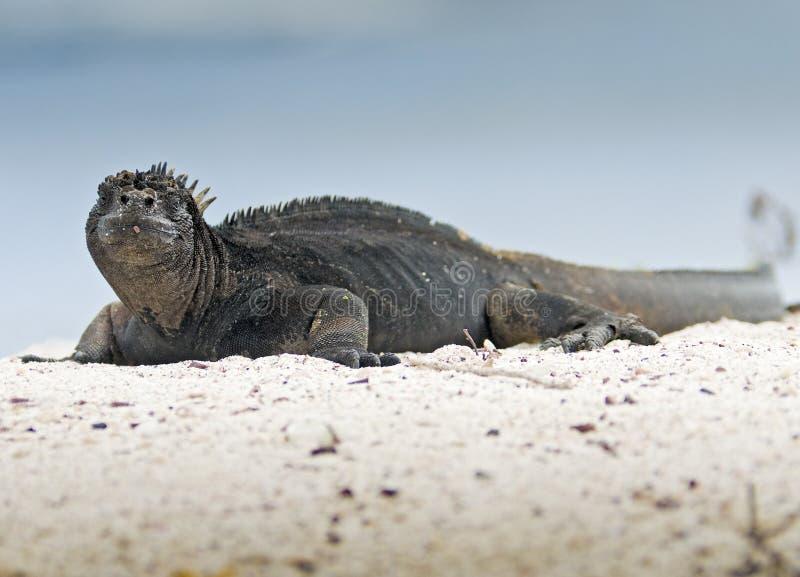 De Mariene Leguaan van de Galapagos royalty-vrije stock fotografie