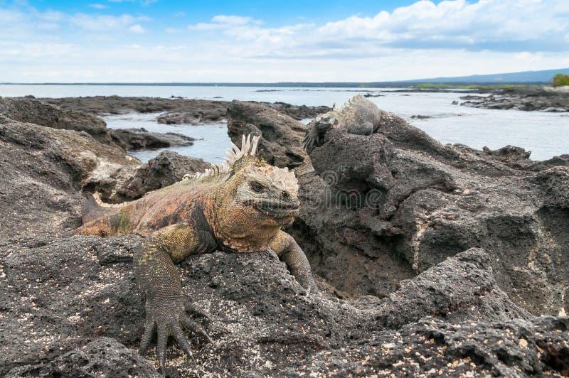 De mariene leguaan van de Galapagos op een rotsachtige dagzomende aardlaag stock afbeeldingen