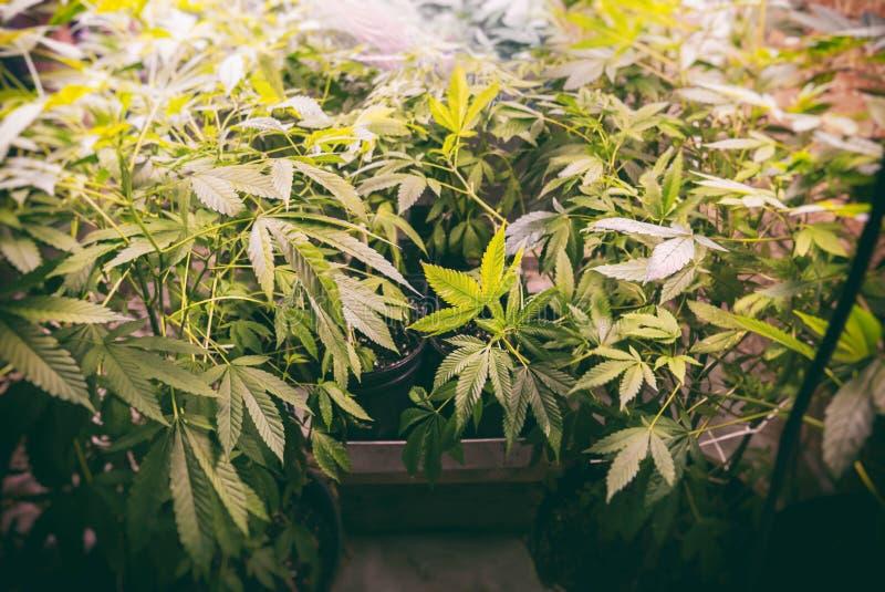 De marihuana kweekt Op stock afbeeldingen