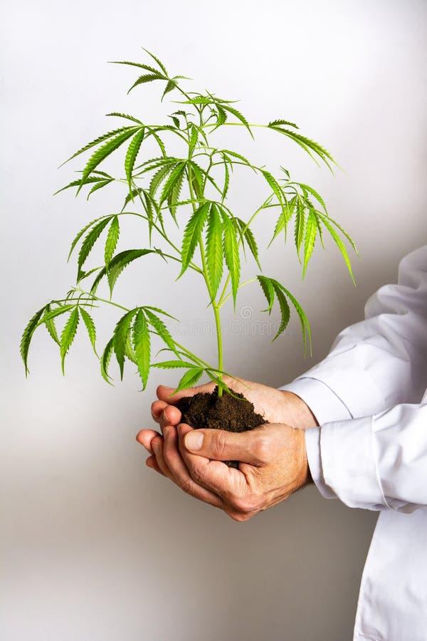 De marihuana van de artsenholding doorbladert stock afbeeldingen