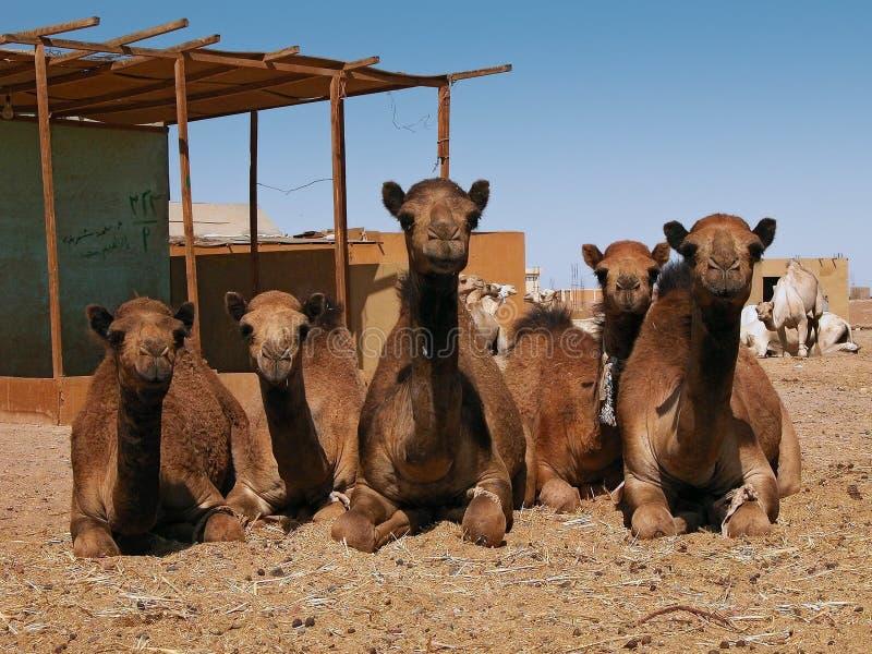 De markt van de kameel stock foto