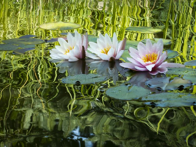 ` De Marliacea Rosea del ` de tres lirios de agua con los pétalos rosados Nymphaes en una charca en un fondo de hojas verde oscur fotografía de archivo