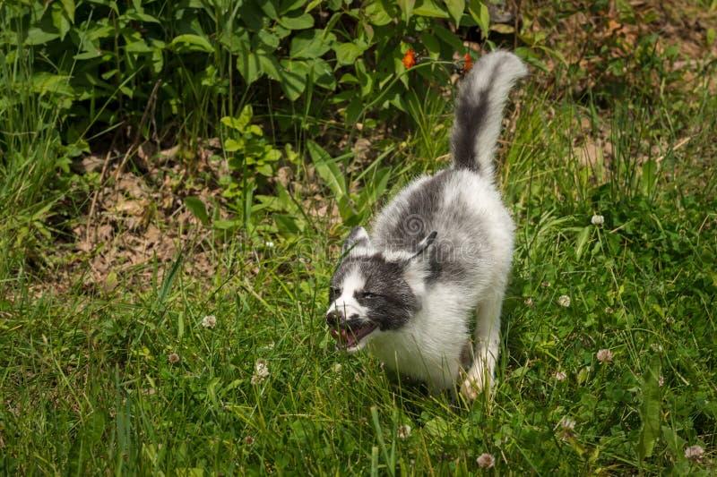 De marmeren Looppas van Vosvulpes vulpes door Gras stock foto