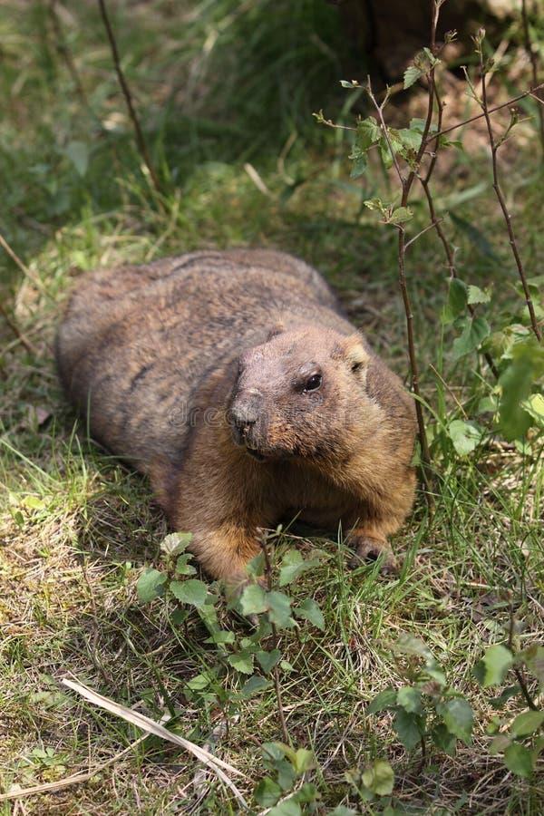 De Marmot Van Bobak Royalty-vrije Stock Afbeeldingen