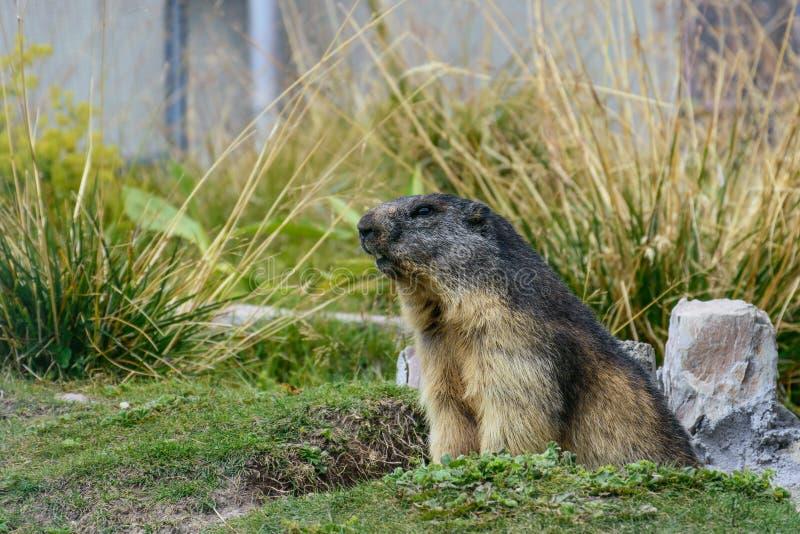 De marmot van Zwitserland royalty-vrije stock afbeeldingen