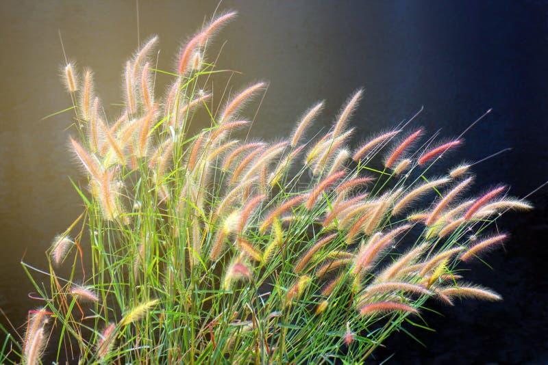 De massabloem van de waterkant van het graszonlicht, groep bloemenweide met lange engte verlaat rivieroever stock afbeelding