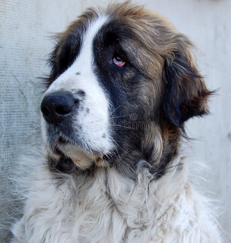 De mastiff van Pyrean royalty-vrije stock foto