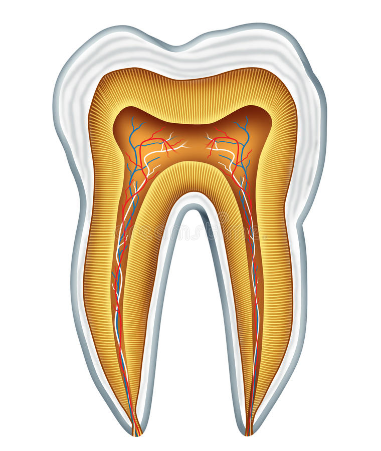 De medische anatomie van de tand royalty-vrije illustratie