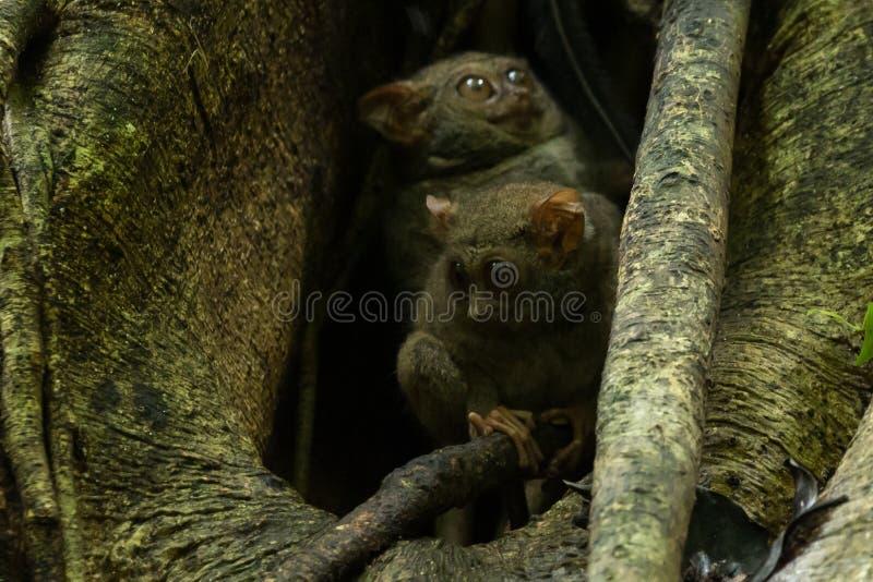 De meer tarsier familie die van Tarsierstarsius in een boom in het Nationale Park van Tangkoko, het Noorden Sulawesi, Indonesië n stock afbeeldingen