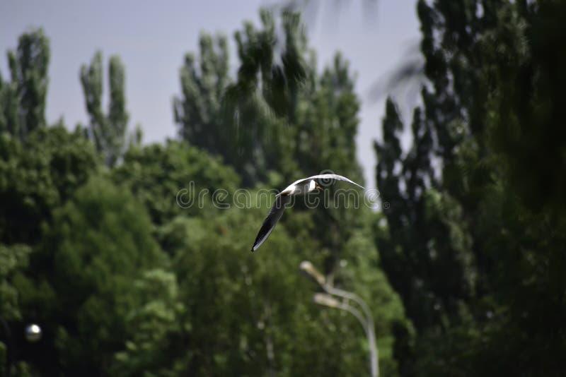 De meeuw met zwarte kop ( chroicocephalus ridibundus) vliegen boven het meer royalty-vrije stock afbeeldingen