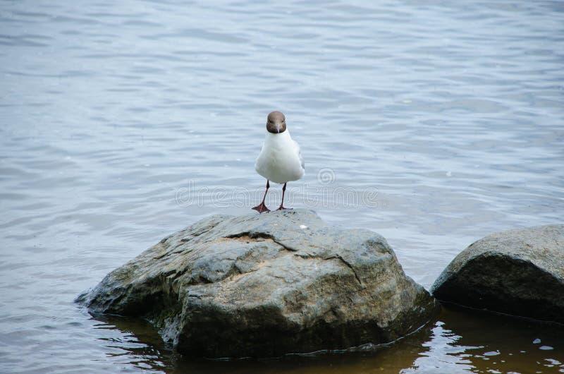 De meeuw met zwarte kop op een steen in het midden van het water stock foto