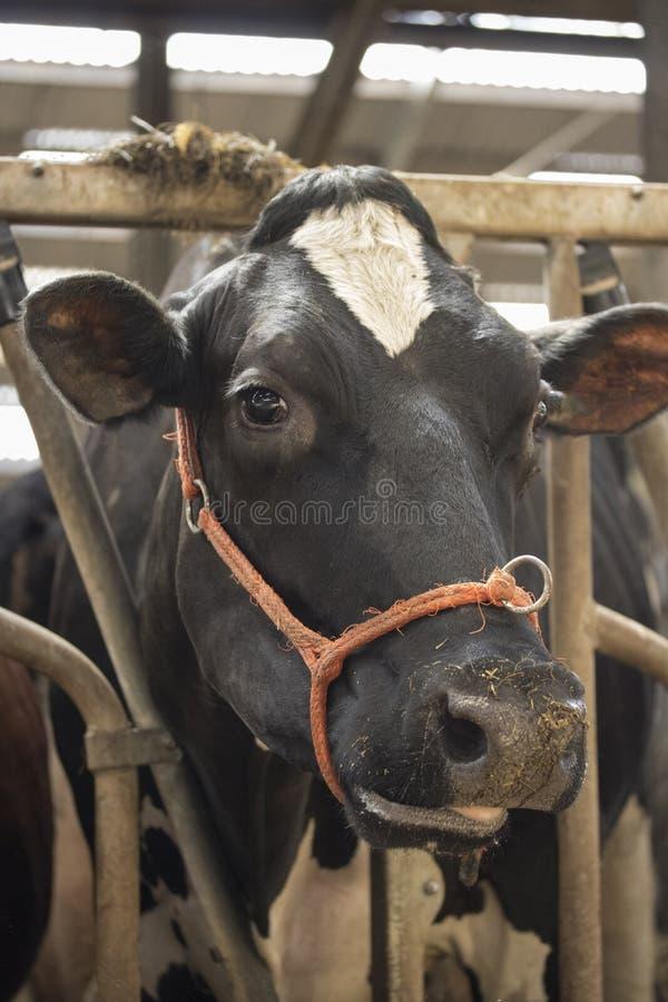 De melk die van de koeschuur met gras gevoederde vee zuivelproduktie eten royalty-vrije stock afbeelding