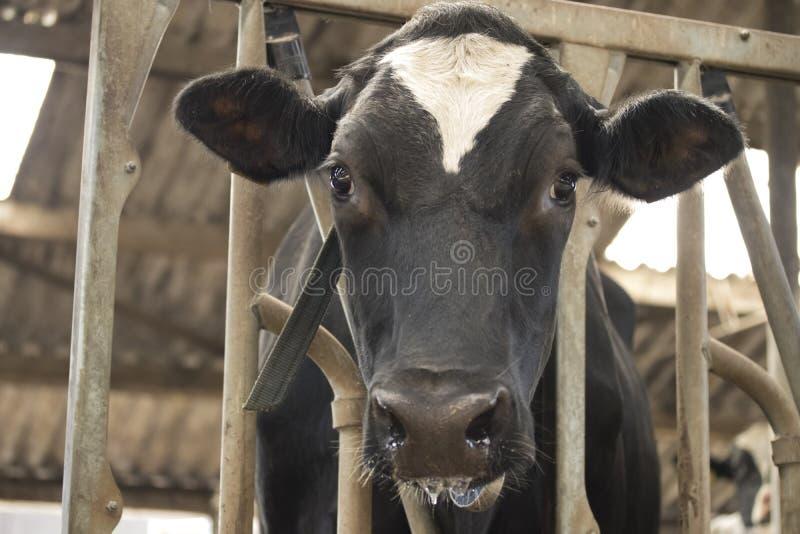 De melk die van de koeschuur met gras gevoederde vee zuivelproduktie eten stock foto