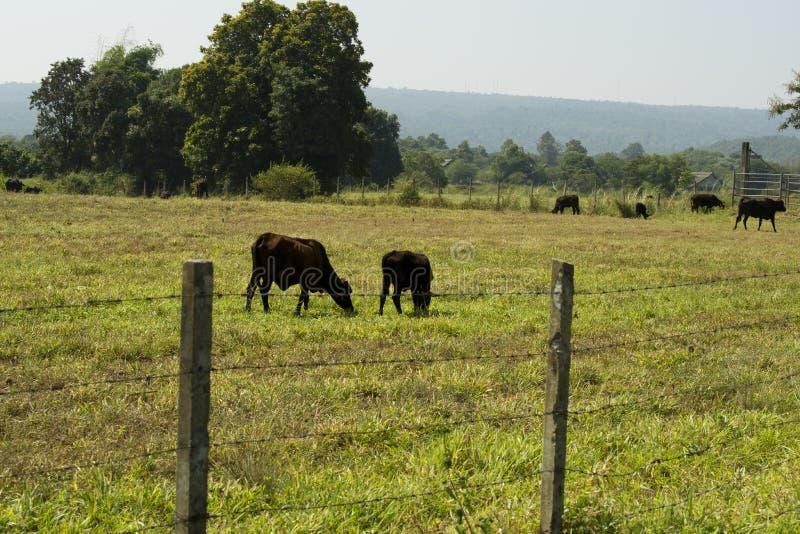 De melkveehouderij van de koe in Sakonnakhon. stock fotografie