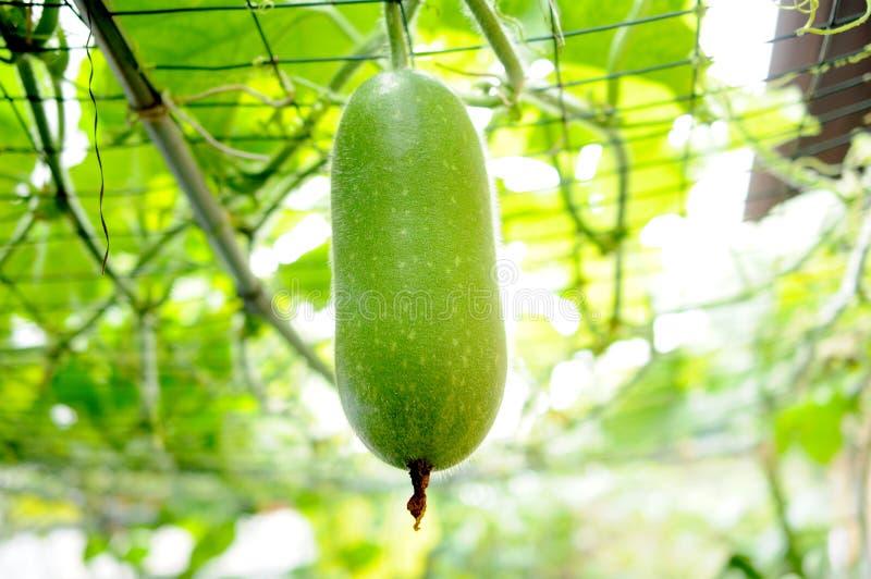 De meloen van de winter op boom stock afbeeldingen
