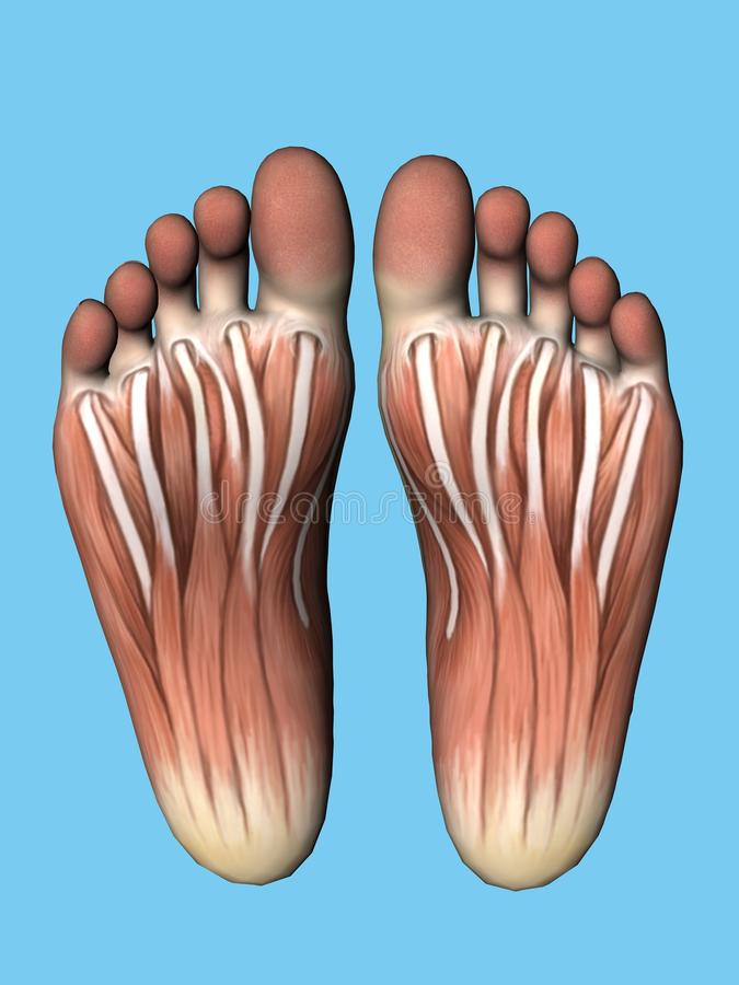 De mening van de anatomiebodem van voet royalty-vrije illustratie