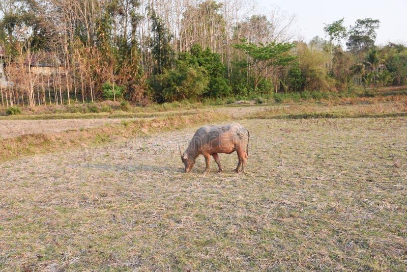 De mening van de buffels is in het landbouwbedrijf stock foto's