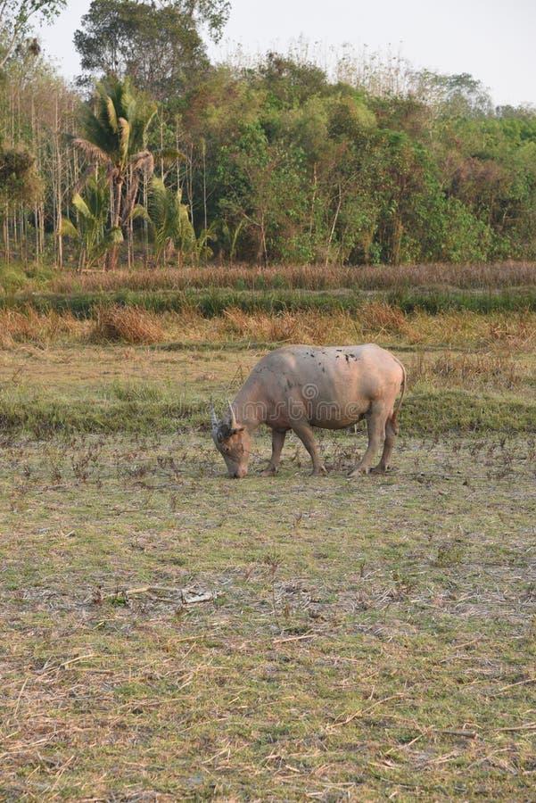 De mening van de buffels is in het landbouwbedrijf royalty-vrije stock fotografie