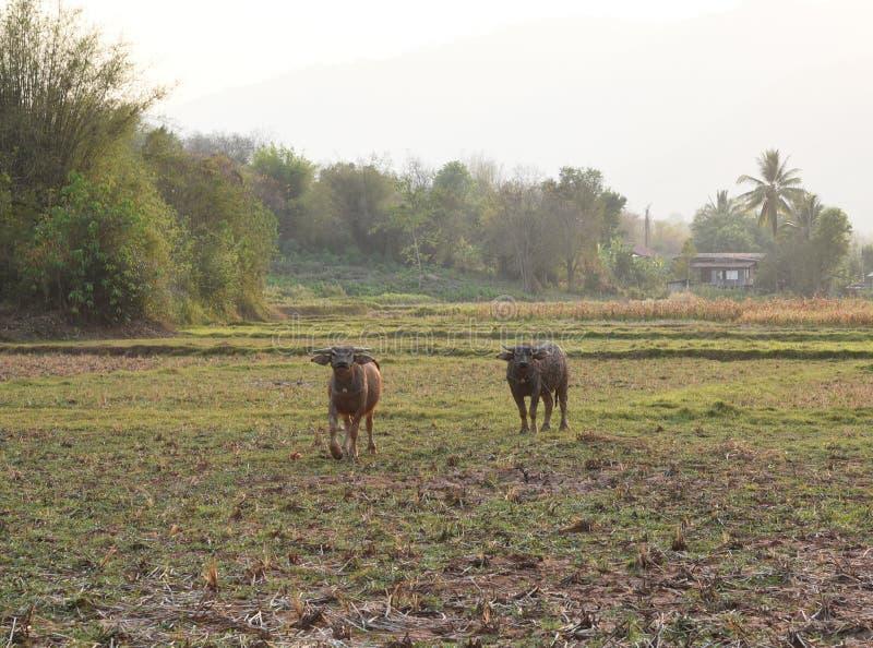 De mening van de buffels is in het landbouwbedrijf royalty-vrije stock afbeelding