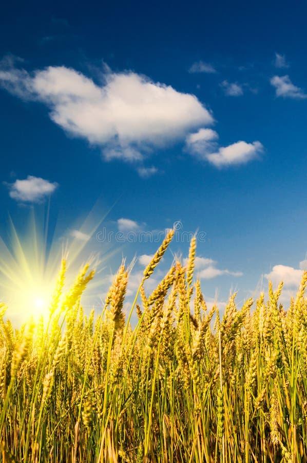 De mening van de zomer van rijpe tarwe. stock afbeelding