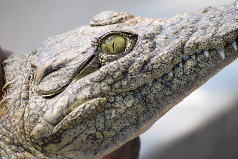 De mening van een krokodil royalty-vrije stock afbeeldingen
