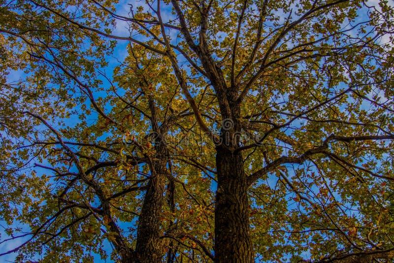 De mening van de herfstbomen van onderaan upwards blauwe hemeltakken stock foto's