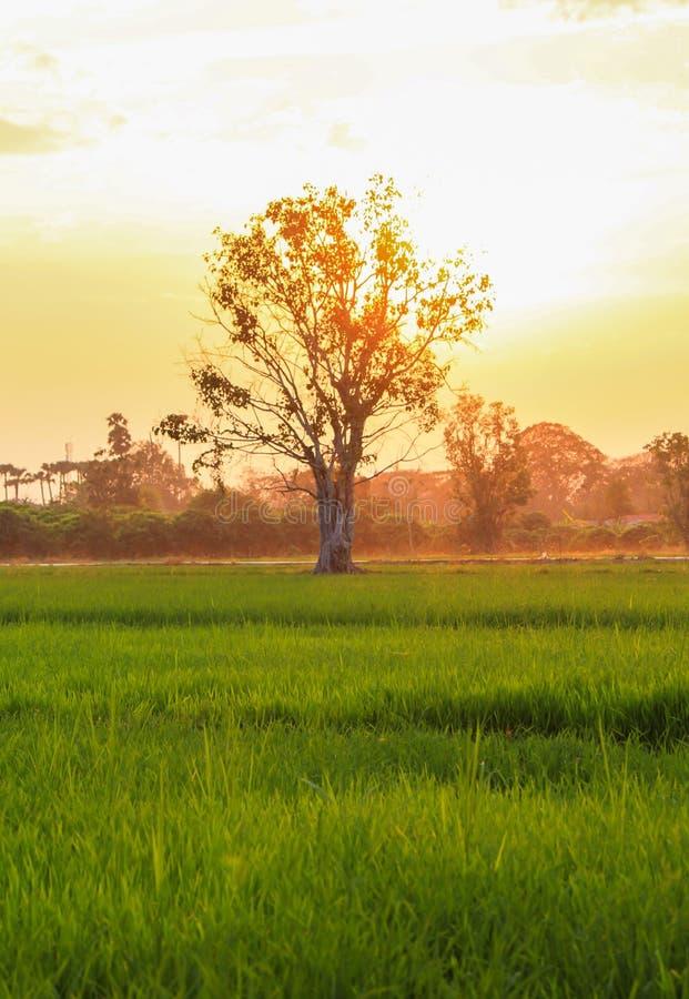 De mening van het rijstlandbouwbedrijf royalty-vrije stock afbeeldingen