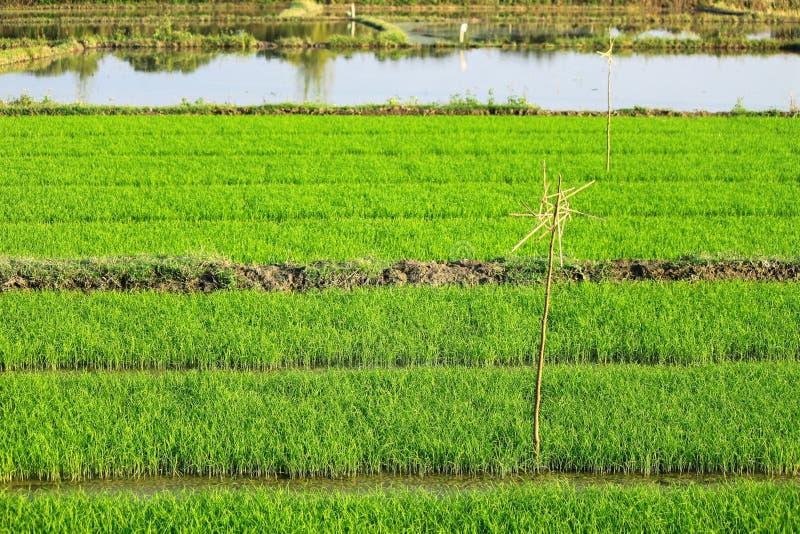 De mening van het rijstlandbouwbedrijf stock afbeelding