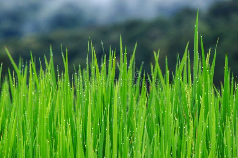 De mening van het rijstlandbouwbedrijf stock fotografie