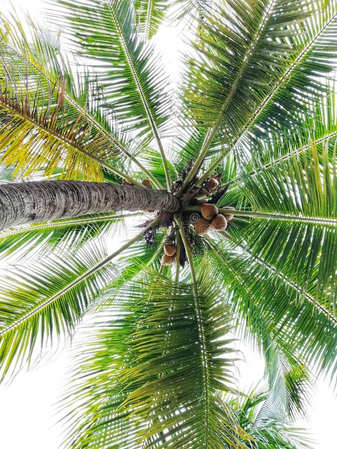 De mening van kokosnoten bij kokospalm, aardconcept stock foto's