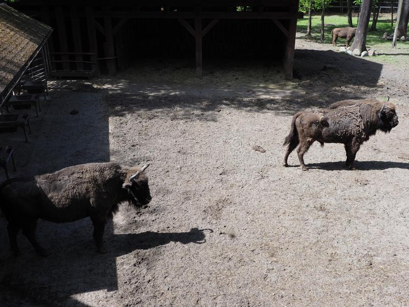 De mening van twee sterke Europese bizons bevindt zich op zandige grond in bijlage bij stad van Pszczyna in Polen stock afbeelding