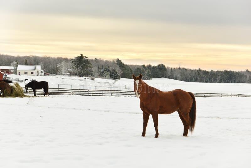 De mening van de winter De paarden op het gebied eten hooi, de winterlandbouwbedrijf, bos in de vorst op de horizon De V.S. maine royalty-vrije stock foto's