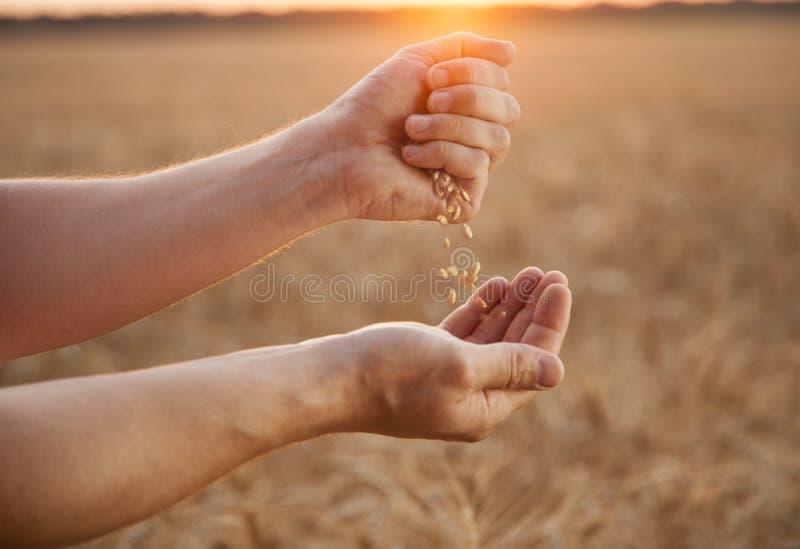 De mens giet tarwe van hand aan hand op de achtergrond van tarwe fie stock afbeeldingen