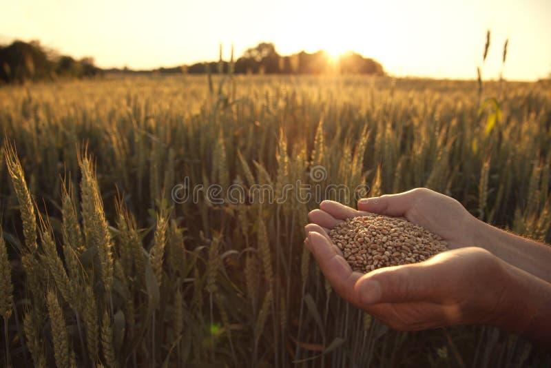 De mens giet tarwe van hand aan hand op de achtergrond van tarwe fie royalty-vrije stock afbeelding